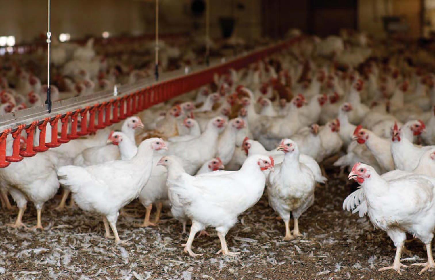 a report on the poultry industry The poultry industry's influence on the success of the south african feed industry is considerable for south african poultry farmers,.