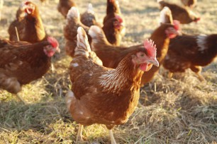 Salmonella and Considerations for Longer Lay