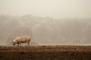 St David's Branches into Antibiotic Reduction in Pigs